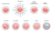 Fertilised cell development. Stages from fertilization till moru — Stock Vector