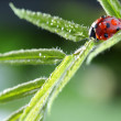 Ladybug with water drop on green leaf — Stock Photo #34718781