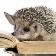 Cute hedgehogs read book — Stock Photo