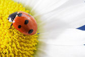 Ladybird on camomile flower — Stock Photo