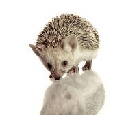 白の小さなハリネズミの分離 — ストック写真