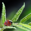 Foto Stock: Ladybug on leaf