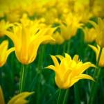 Beauty tulip flower — Stock Photo #45566025