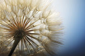 Big dandelion on a blue background — Stock Photo