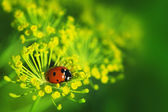 Ladybug on green leaf dill — Stock Photo