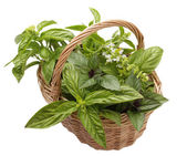 Basket with different varieties of basil — Stock Photo