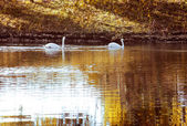 Two white swan in autumn purged — Photo