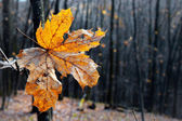 Dry autumn leaf stuck in  forest — Stock Photo