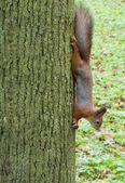 Squirrel on a tree — ストック写真
