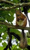 Ağaçta sincap — Stok fotoğraf