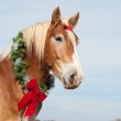 Beautiful blond Belgian Draft horse wearing a Christmas wreath — Stock Photo #5869684