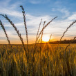 Sunrise and Wheat — Stock Photo