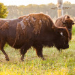 Stock Photo: Bison Farming