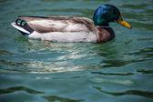 кряква или дикая утка — Стоковое фото