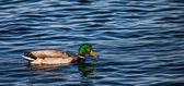 Mallard ya da yaban ördeği — Stok fotoğraf