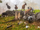 Dağ keçilericabras de montaña — Foto de Stock