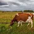 Cow Herd and Storm Clouds - Stock Photo