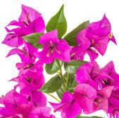 Bougainvillea — Stock Photo