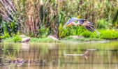 Painted Stork In A Flight — Stock Photo