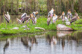 Flock of Painted Stork — Stock Photo