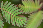 Mimosa Pudica Leaves — Stock Photo