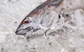 Fresh Mackerel Tuna — Stock Photo