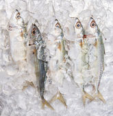 Short-bodied Mackerel Fish — Stock Photo
