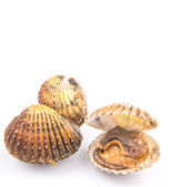Raw Cockle — Stock Photo