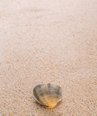 Clam Shell On Beach — Stock Photo