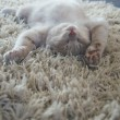 Kitten on carpet - Stock Photo