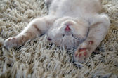 Kitten on carpet — Stock Photo