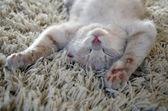 Kitten sleeping on carpet — Stock Photo