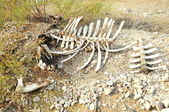 Bones of dead cattle — Stock Photo