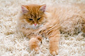 Sarı kedi — Stok fotoğraf