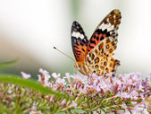 Beautiful butterfly (Polygonia c-aureum) on a flower — Stock Photo