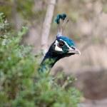 A peacock peeking from behind a bush — Stock Photo #14171133