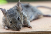Mouse close up — Stock Photo