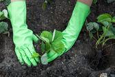 Plantação de morango — Foto Stock