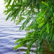 Bushes leaned over water — Stock Photo #12721842