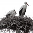 Family of storks in nest — Stock Photo