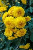 Mooie gele chrysant bloemen — Stockfoto