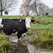 Cows outdoors — Stock Photo