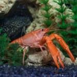 Постер, плакат: Red crawfish in aquarium