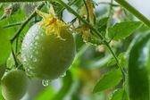 Flowering tomatoes — Stock Photo