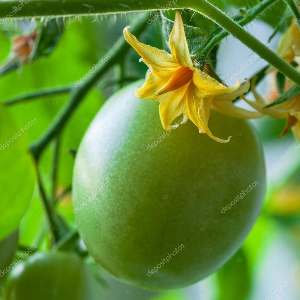 Фото цветов помидор