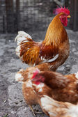 Red rooster and hens — Stock Photo