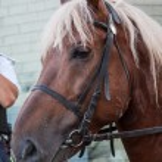 Mounted Police Horse palomeno — Stock Photo