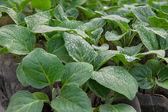 Eggplants seedlings — Stock Photo