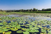 Field water lilies — Stock Photo