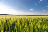 Green wheat on the field — Stock Photo